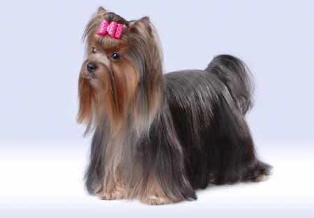 Portrait of yorkshire terrier photo