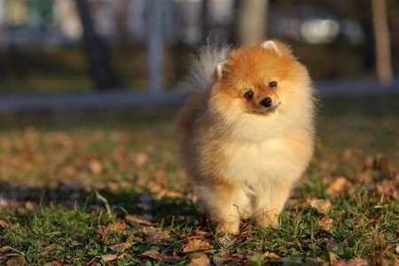 Portrait of pomeranian spitz in the park