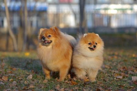 Portrait of pair of pomeranian spitz in the park