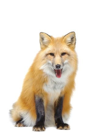 Red fox sitting isolated on white Stock Photo - 11788937