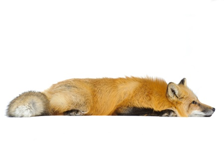 furry tail: Red fox laying straight isolated on white