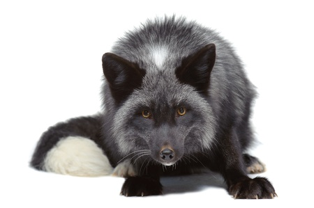 black fox: Silver fox leaning isolated on white