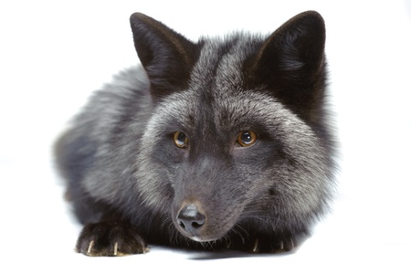 Silver fox laying isolated on white