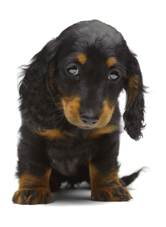 Portrait of puppy of Dachshund on white