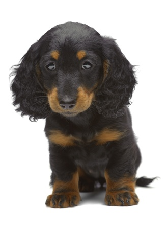 Portrait of puppy of Dachshund on white