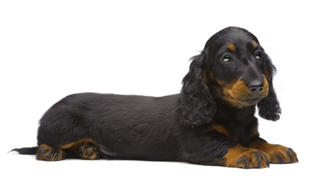 Portrait of laying puppy of Dachshund on white Stock Photo
