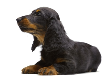 Portrait of laying puppy of Dachshund on white Stock Photo - 13128585