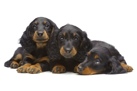 Portrait of three laying puppies of Dachshund on white photo