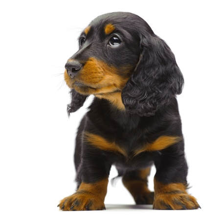 Portrait of standing puppy of Dachshund on white