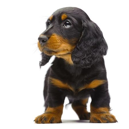 Portrait of standing puppy of Dachshund on white