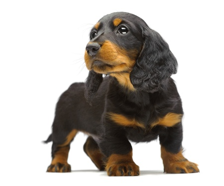 Portrait of puppy of Dachshund on white Stock Photo - 13338209