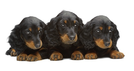 Portrait of three puppies of Dachshund on white