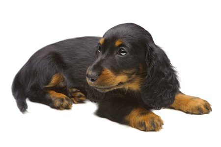 Portrait of puppy of Dachshund on white photo