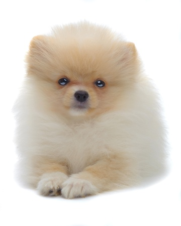 Portrait of laying puppy of pomeranian spitz isolated on white Stock Photo - 16492795