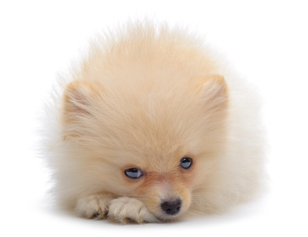 Portrait of laying puppy of pomeranian spitz isolated on white Stock Photo