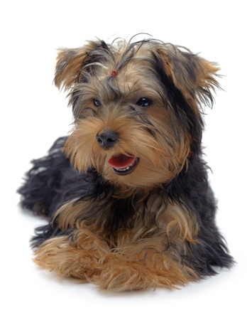 Portrait of laying puppy of yorkshire terrier isolated on white Stock Photo