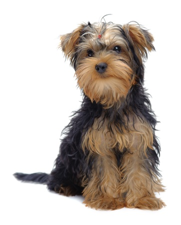 Portrait of sitting puppy of yorkshire terrier isolated on white Stock Photo