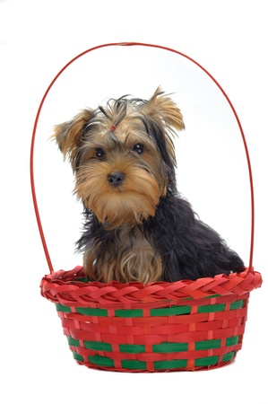 Portrait of sitting in basket puppy of yorkshire terrier isolated on white Stock Photo