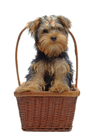 Portrait of standing in basket puppy of yorkshire terrier isolated on white