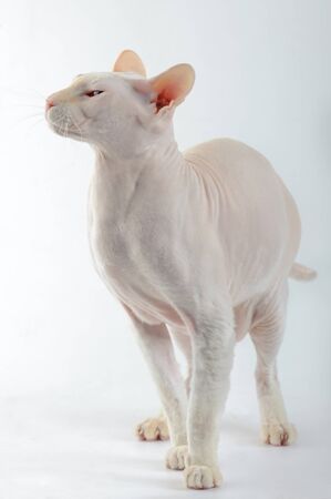 Peterbald cat, Oriental Shorthairl on white Stock Photo