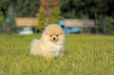 Portrait of red german spitz puppy on grass