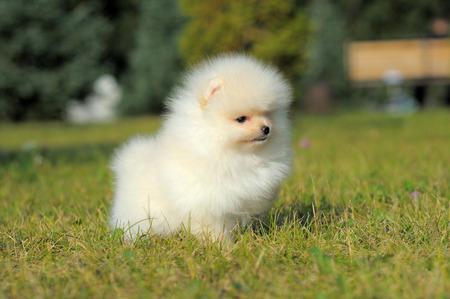 Portrait of white german spitz puppy on grass