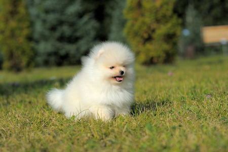 Portrait of white german spitz puppy on grass