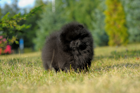 Portrait of black german spitz puppy on grass Stock Photo