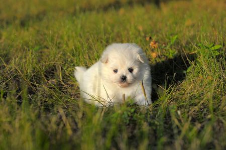 Portrait of maltese puppy on grass