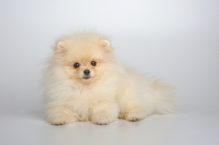 Portrait of red german spitz puppy on gray