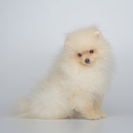 Portrait of cream german spitz puppy on gray