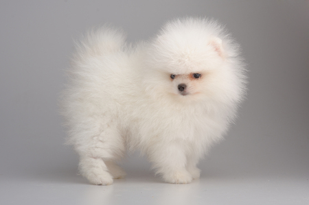 Portrait of white german spitz puppy on gray