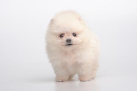 Portrait of cream german spitz puppy on gray