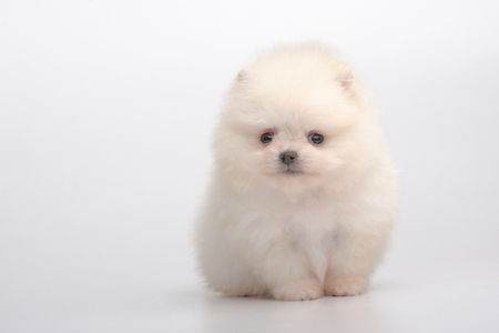 Portrait of cream german spitz puppy on gray Stock Photo - 73186911
