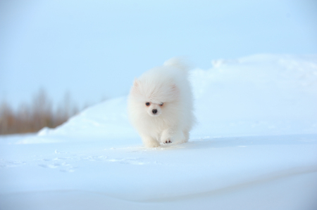Portrait of whiet puppy of german spitz walking on snow