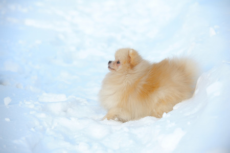 Portrait of red puppy of german spitz walking on snow Stock Photo - 73186912