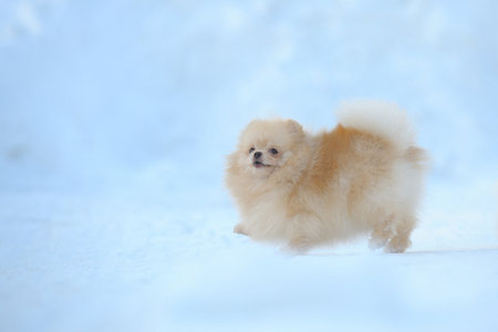 Portrait of red puppy of german spitz walking on snow