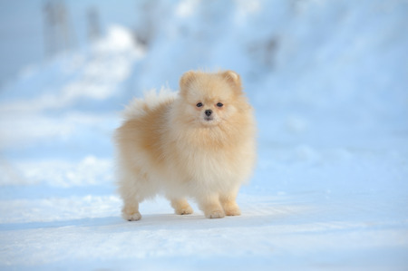 Portrait of red puppy of german spitz walking on snow