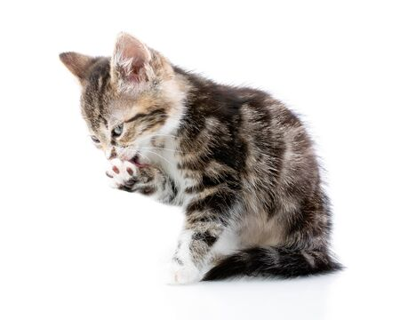 Striped three - color kitten in the white background