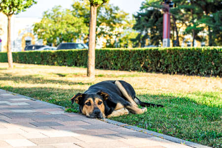 street stray dog lies on the lawn in the city. Sad dog