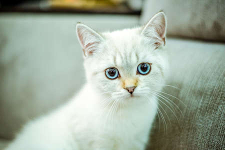 Portrait of a cute British kitten with blue eyes on a gray background. Cozy home. Domestic cat. Close up copy space