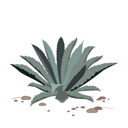 agave: Tequila blue agave on dry sand. Realistic illustration for label, poster, or web.