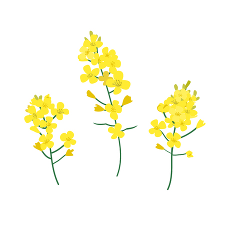 Flowering stalk of yellow rape flowers. Brassica napus, rapeseed, colza, oil seed, canola vector illustration. The concept of rapeseed oilor honey. Flat vector illustration isolated on white background