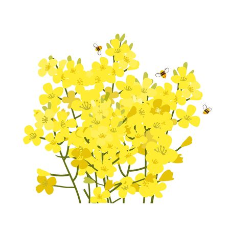 Rapeseed flowers bunch isolated on white background. Brassica napus blossom, vector illustration