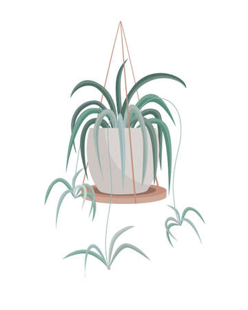 Spider Plant aka, Airplane Plant, Spider Ivy, Ribbon Plant, St. Bernard Lily, Hen and Chickens, Chlorophytum Comosum hanging on a white background on a wooden shelf. Vector illustration