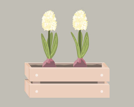 Cartoon hyacinths in wooden box. Spring design in Scandinavian style. Vector illustration isolated on white
