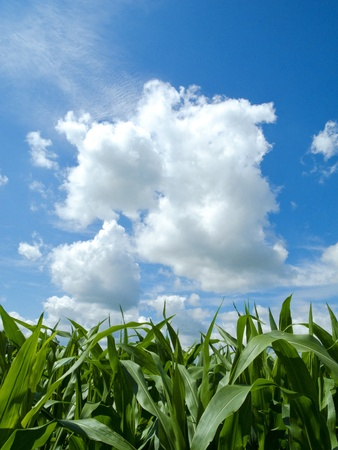 field and sky: Young corn field and a beautiful cloud Stock Photo