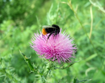 bumblebee on a big beautiful pink flower photo
