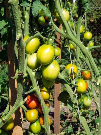tomate de arbol: un montón de hermosos tomates verdes de la planta