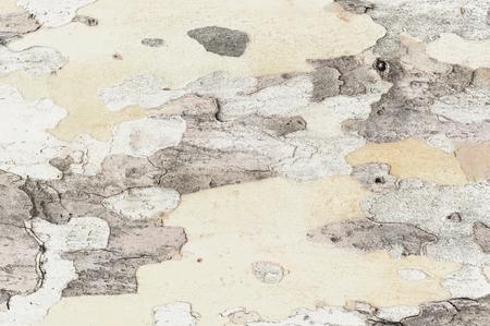 sicomoro: textura sobre la base de la corteza de sicomoro